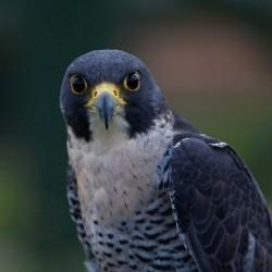 Falconry United Kingdom